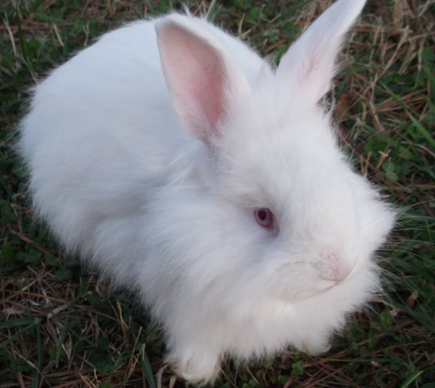 German angora rabbits